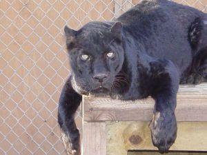 Safari's Oscar - African leopard