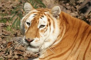 Safari's Shammi the Golden Tabby Tiger